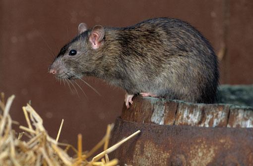 se debarrasser des rats et souris TOULOUSE (31) ET HAUTE-GARONNE