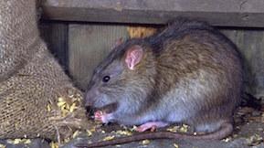 société anti rat souris montpellier herault 34