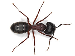 se debarrasser fourmis ales gard 30